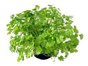 03 17 Coriander Health Benefits Aid0200