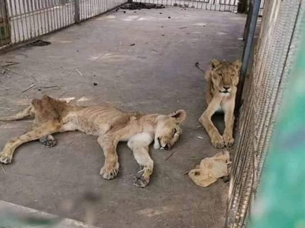 Pictures of starving African lions from Sudan zoo go viral