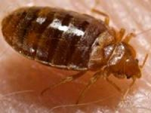 Bed Bugs May Cure Aids