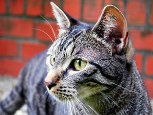 08 01 Cat Parasite Linked To Brain Cancer Aid0032.html