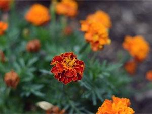 Easy Togrow Puja Flowers Aid