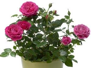 Gardening Rose Indoor Aid