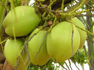 Facts You Need To Know About Coconut Water