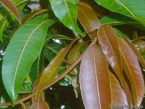 Amazing Benefits And Uses Of Mango Leaves