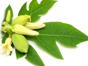 Benefits Of Eating Papaya Leaves And Flowers