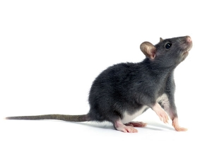 Most Effective And Easy Ways To Get Rid Of Mice Naturally