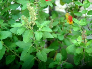 Facts Know About Tulsi Plant