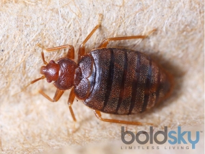 Home Remedies Avoid Bed Bugs