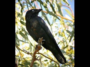 Omens Related To A Crow According To Vastu Shastra