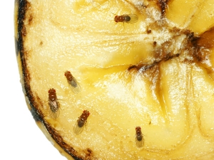 Get Rid Fruit Flies A Simple Easy Ways With These Home Remed