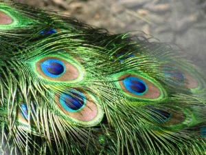 Peacock Feather Is Effective To Avoid Shani Dosha