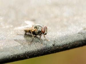 How Avoid House Flies