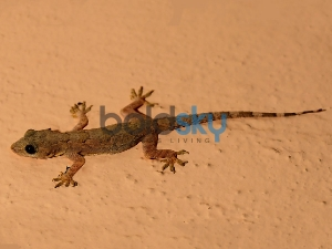 Home Remedies To Get Rid Of Lizard