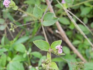 Health Benefits Of Punarnava Herb In Karkidaka Month