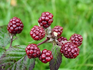 Health Benefits Mulberry Fruit