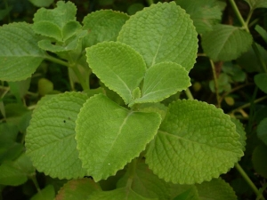 Health Benefits Of Mexican Mint