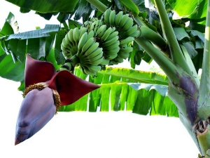 Home Remedy Using Banana Flower Remove Heart Block