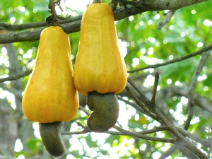 Health Benefits Of Cashew Apple Juice