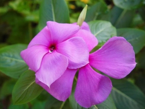 Health Benefit Of Periwinkle