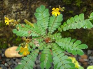 How Use Biophytum Sensitivum Mukkutti For Health Issues