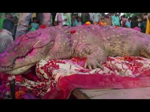 Villagers Did Not Cook Food When This Crocodile Died