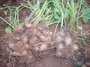Health Benefits Chinese Potato