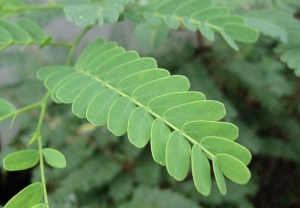 Tamarind Leaves Benefits For Treating Diabetes