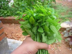 Health Benefits Of Sauropus Androgynus Katuk