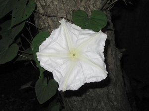 Health Benefits Of Obscure Morning Glory