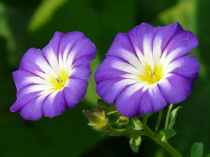 Health Benefits Of Slender Dwarf Morning Glory