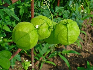 Health Benefits Of Baloon Vine