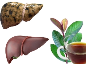 How To Protect Liver With Tender Guva Leaves Boiled Water