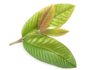 How To Prepare Guava Leaves To Treat Vaginal Infection