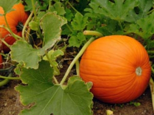 Health Benefits Of Pumpkin Leaf