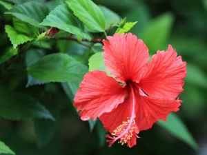 How To Use Hibiscus Leaf To Control Diabetes
