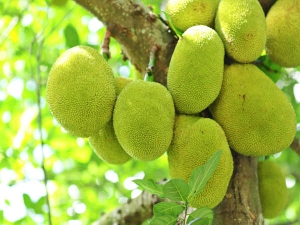 Raw Jack Fruit Powder To Resist Cancer And Chemotherapy Effe