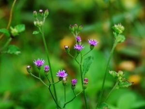 Health Benefits Of Cyanthillium Cinereum Ironweed