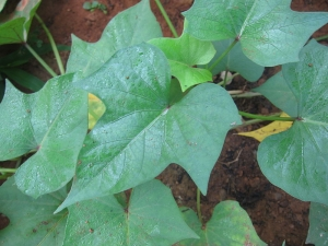 Health Benefits Of Sweet Potato Leaves