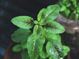 How Tulsi Plant In Your Home Can Predict Your Future