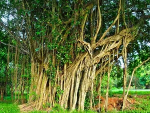 Banyan Tree Its Mythological Importance