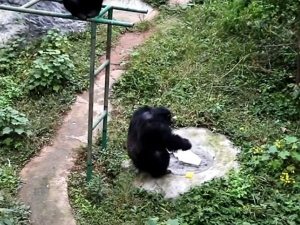 Clever Chimpanzee Was Filmed Washing Clothes At A Zoo In Chi