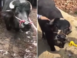 Cow Begs To Be Spared From Slaughter In Heartbreaking Video