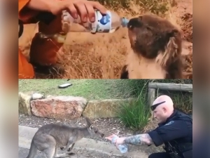 Firemen Helps Thirsty Koala And Kangaroo During Australia Bu