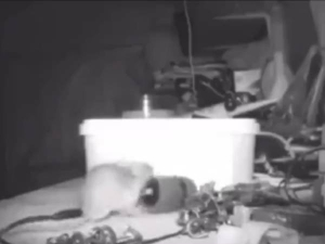 A Mouse Tidies Up Old Man S Tool Video Goes Viral