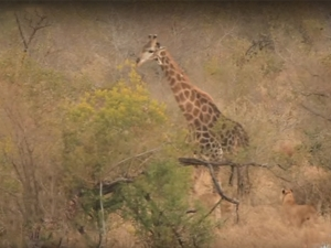 Lion Try To Take Down Giraffe But End Up Getting Battered