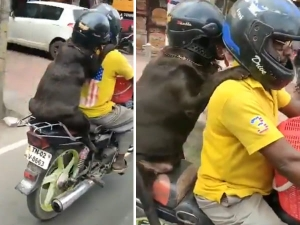 Dog Wearing Helmet During Bike Ride In Chennai