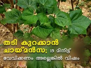 Health Benefits Of Chaya Mansa