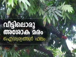 Benefits Of Ashoka Tree In House