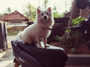 How To Take Care Of The Indian Spitz