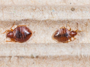 Favorite Hiding Places Of Bed Bugs